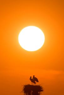 コウノトリと夕陽の写真素材 [FYI01790649]