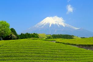 富士山と茶畑の写真素材 [FYI01791478]