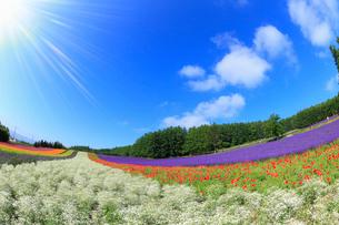 ファーム富田・彩りの畑に太陽の写真素材 [FYI01791790]