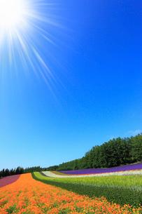 ファーム富田・彩りの畑に太陽の写真素材 [FYI01791902]