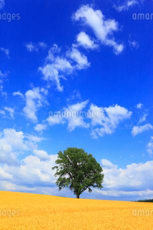 哲学の木と麦畑の写真素材 [FYI01791915]