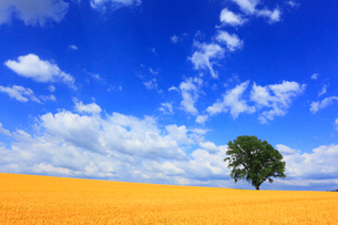 哲学の木と麦畑の写真素材 [FYI01792117]