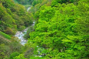 小滝川ヒスイ峡の新緑の写真素材 [FYI01792156]