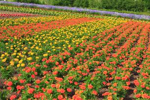 四季彩の丘の花畑の写真素材 [FYI01792219]
