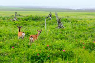 野付半島 霧の花畑とエゾシカの写真素材 [FYI01792231]