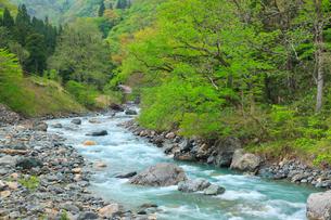 小滝川ヒスイ峡の新緑の写真素材 [FYI01792241]
