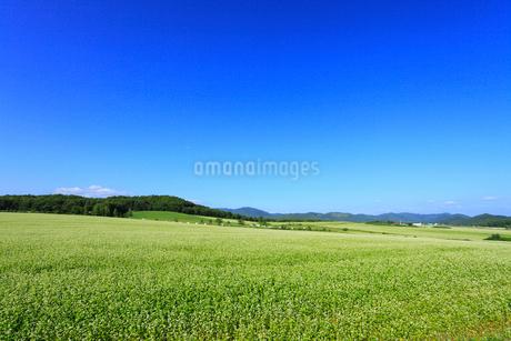ソバ畑と青空の写真素材 [FYI01792309]