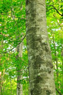 白神山地のブナ林の写真素材 [FYI01792360]