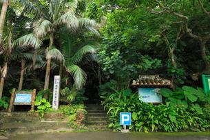 沖縄・石垣島 米原のヤエヤマヤシ群落の写真素材 [FYI01792409]
