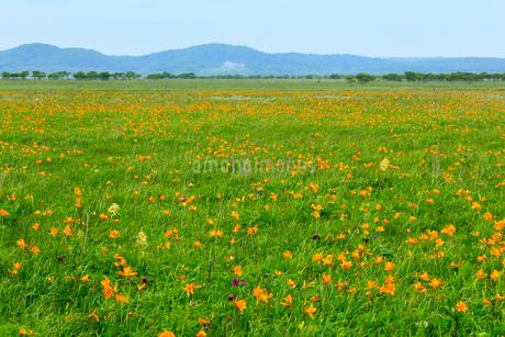 霧多布湿原の花畑の写真素材 [FYI01792420]