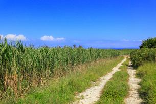沖縄・波照間島 サトウキビ畑と道の写真素材 [FYI01792466]