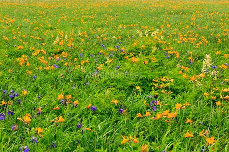 霧多布湿原の花畑の写真素材 [FYI01792489]