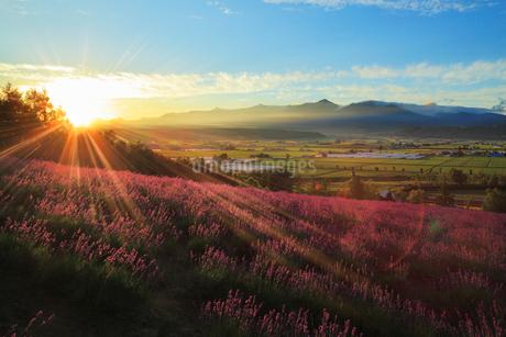 富良野・ファーム富田のラベンダーと十勝岳連峰に朝日の写真素材 [FYI01792516]