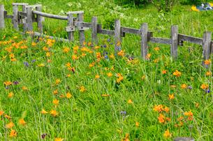 霧多布湿原の花畑の写真素材 [FYI01792525]