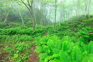 知床・霧と新緑の小道の写真素材 [FYI01792531]