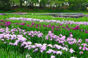 多賀城跡のアヤメ園の写真素材 [FYI01792553]