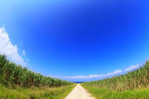 沖縄・波照間島 サトウキビ畑と道の写真素材 [FYI01792570]