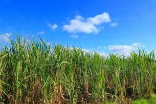 沖縄・西表島 サトウキビ畑の写真素材 [FYI01792626]