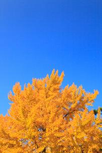 イチョウの黄葉の写真素材 [FYI01792740]