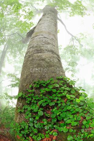 白神山地のブナ林の写真素材 [FYI01792920]