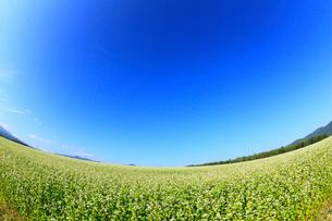 ソバ畑と青空の写真素材 [FYI01792933]