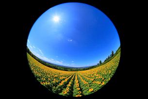 智恵文のヒマワリ畑 青空に太陽の写真素材 [FYI01792938]