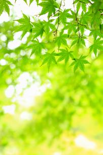 新緑のカエデと木漏れ日の写真素材 [FYI01792957]