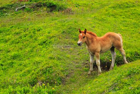 尻屋崎の寒立馬の写真素材 [FYI01792960]