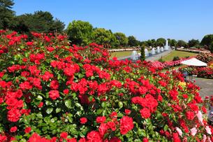 須磨離宮公園・噴水広場のバラ園の写真素材 [FYI01792984]