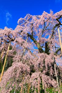 三春の滝桜の写真素材 [FYI01793064]
