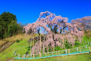 三春の滝桜の写真素材 [FYI01793088]
