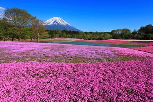 富士本栖湖リゾートのシバザクラと富士山の写真素材 [FYI01793091]