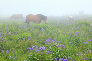 霧のあやめヶ原に馬の写真素材 [FYI01793119]