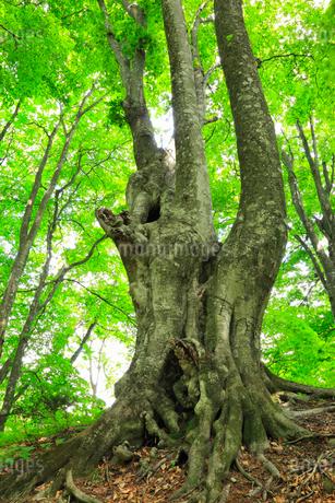 ミニ白神のブナ林の写真素材 [FYI01793123]