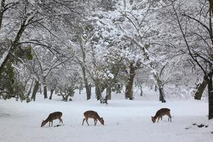 奈良公園のシカと雪景色の写真素材 [FYI01793144]