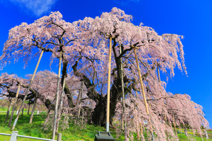 三春の滝桜の写真素材 [FYI01793149]