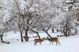 奈良公園のシカと雪景色の写真素材 [FYI01793196]