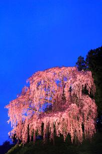 合戦場のシダレザクラ ライトアップ夜景の写真素材 [FYI01793211]