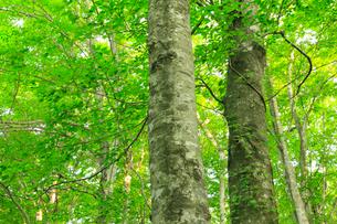 白神山地のブナ林の写真素材 [FYI01793223]