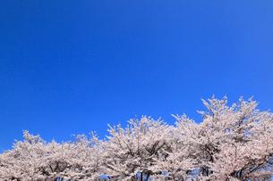 真原のサクラ並木の写真素材 [FYI01793257]