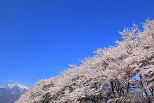 真原のサクラ並木の写真素材 [FYI01793304]