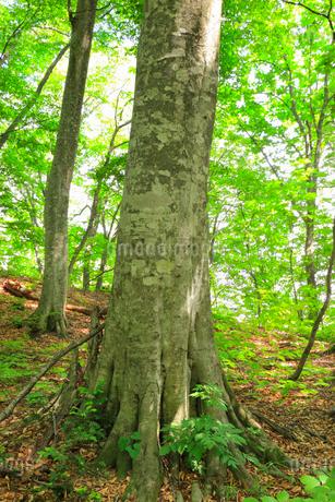 ミニ白神のブナ林の写真素材 [FYI01793337]