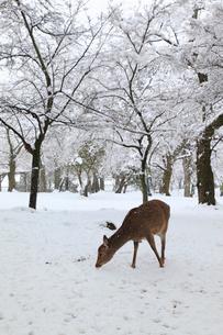 奈良公園のシカと雪景色の写真素材 [FYI01793343]