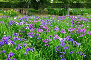 一迫山王史跡公園のアヤメ園の写真素材 [FYI01793379]