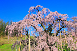 三春の滝桜の写真素材 [FYI01793386]