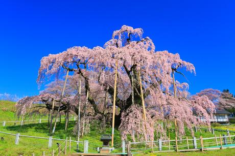 三春の滝桜の写真素材 [FYI01793411]