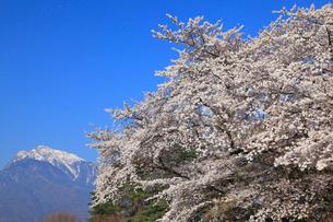 甲斐駒ケ岳とサクラ並木の写真素材 [FYI01793440]