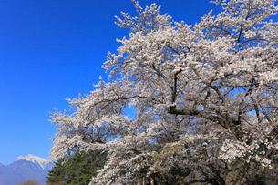 甲斐駒ケ岳とサクラ並木の写真素材 [FYI01793474]