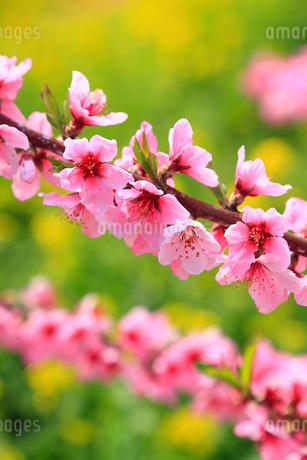 モモの花とナノハナの写真素材 [FYI01793541]