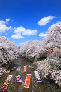 五条川のんぼり洗いとサクラ並木の写真素材 [FYI01793672]